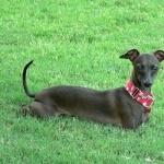 Italian Greyhound download wallpaper