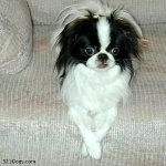 Japanese Chin cute
