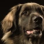 Leonberger photo