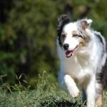 Miniature Australian Shepherd images