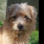 Norfolk Terrier 2016