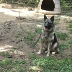 Norwegian Elkhound pic