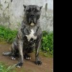 Perro de Presa Canario breed