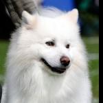 American Eskimo Dog high definition photo