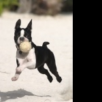 Boston Terrier pic