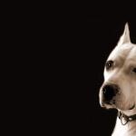 Dogo Argentino full hd