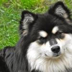 Finnish Lapphund hd pics