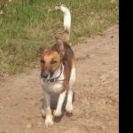 Fox Terrier breed