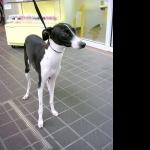 Italian Greyhound 1080p