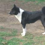 Karelian Bear Dog breed