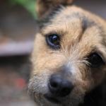 Norwich Terrier download wallpaper