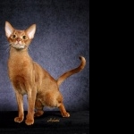 Abyssinian cat desktop wallpaper