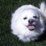 American Eskimo Dog images