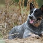 Australian Stumpy Tail Cattle Dog free