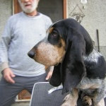 Basset Bleu de Gascogne free wallpapers
