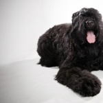 Black Russian Terrier pic