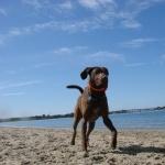 Chesapeake Bay Retriever free download