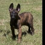 Dutch Shepherd Dog 2016