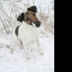 Fox Terrier photos