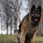 German Shepherd Dog 2016