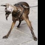 Italian Greyhound background
