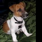 Jack Russell Terrier desktop
