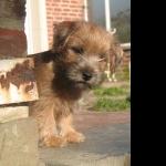 Norfolk Terrier widescreen