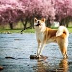 American Akita breed