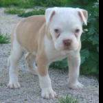 American Bulldog photo