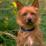 Australian Terrier new wallpapers