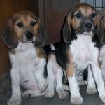 Beagle-Harrier wallpapers