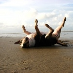 Bull Terrier widescreen