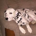 Dalmatian download