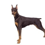 Doberman Pinscher high definition photo