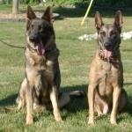 Dutch Shepherd Dog free