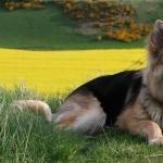 German Shepherd Dog download