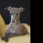 Italian Greyhound cute