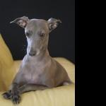 Italian Greyhound cute