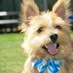 Norwich Terrier hd desktop