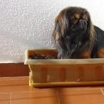 Pekingese new photos