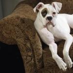 American Bulldog hd wallpaper