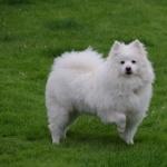 American Eskimo Dog full hd