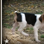 American Foxhound pics