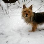 Australian Terrier new photos