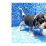 Beagle-Harrier hd photos
