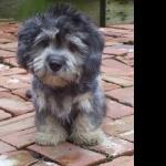 Dandie Dinmont Terrier new wallpapers