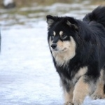 Finnish Lapphund pic