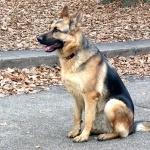 German Shepherd Dog widescreen