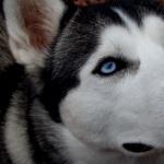 Husky desktop wallpaper