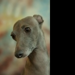 Italian Greyhound new photos